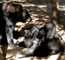 071603 Black bears 19