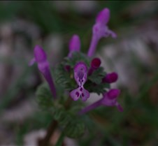 Small purple flower in back yard 4
