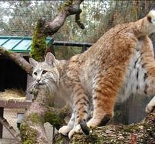 102304 Bobcat Rufus 123