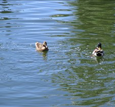 SwimmingDucks3