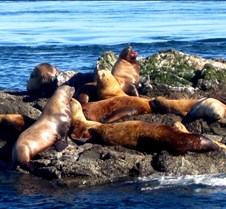 Singing Steller Sea Lion