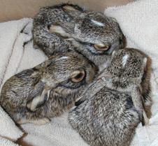 061604 Jack rabbit baby 53