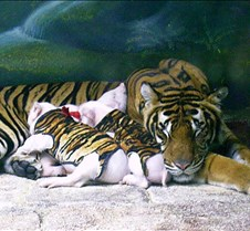 Tiger with pigs