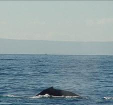 Whale Surfacing