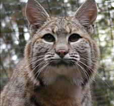 102304 Bobcat Rufus 120