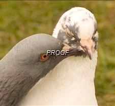 PIGEONS birds, pigeons
