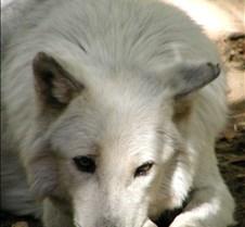 092204 Wolf Tsar 55