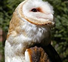 031504 Barn Owl Petrie 81