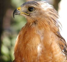 091703 Red Shouldered Hawk 181