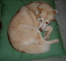 Foxy (Siberian Husky)