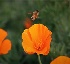 Bees & Poppies 7