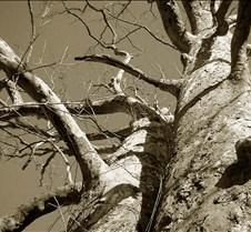 The Big Tree Sepia