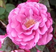 pinkrose4