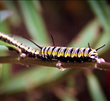 Bug Fair Monarch Caterpiller 2