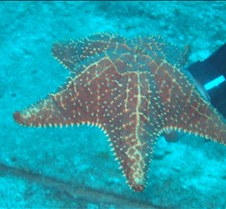 A large sea star
