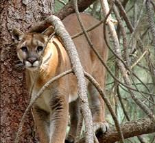 072403 Cougar Katrina 10