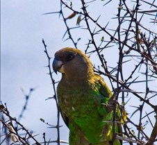 brownheadedparrot