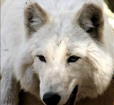 100902 Wolf Lakota 149