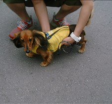 Wiener dog with a hoodie