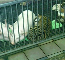 Baby tiger and pig