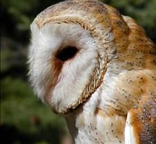 031504 Barn Owl Petrie 84