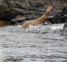 SeaLion on the whale watchps
