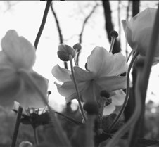 flowers_and_sunset_bw