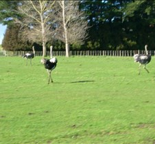 Ostriches can Run