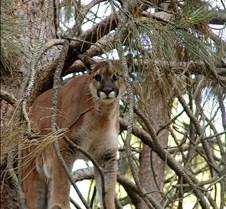 072403 Cougar Katrina 20