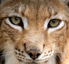 072402 Eurasian Lynx 102b