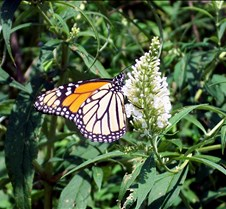 monarchonbutterflybush