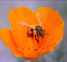 Bees & Poppies 10