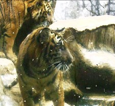 Tiger Zoo 2