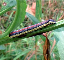 Colourful Caterpillar