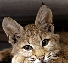 090402 Bobcat Kitten 92