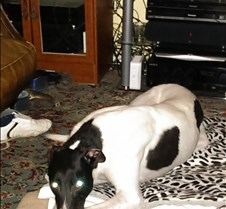 2014_02_07 - Scooby This is Scooby who has come over to live with Margaret and fellow Rescued Racer Ollie in Symons Yat