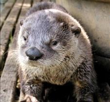 062602 River Otter Juvenile 32