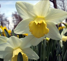 yellowcenter white daffodil