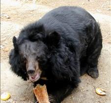 110602 Asian Bear 114