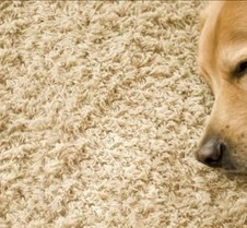 dog-carpet1