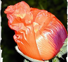 Poppy Bud Edged