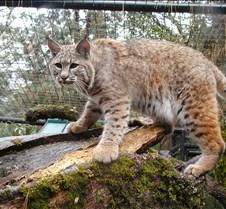 102304 Bobcat Rufus 116