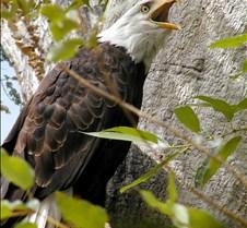 090303 Bald Eagle 31m