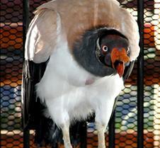 101304 King Vulture 86