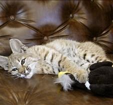 090402 Bobcat Kitten 88