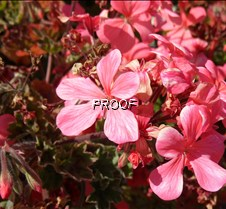 Petals Pink