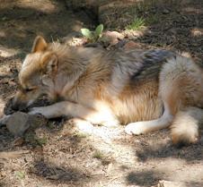 091903 Wolf Spirit 262