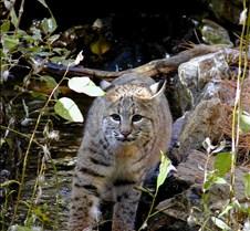 102403 Bobcat Rufus 205