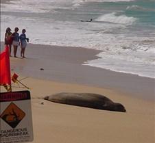 Hawaiian Monk Seal resting after a night