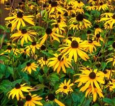 9%2D28%2D2016+Sunflowers